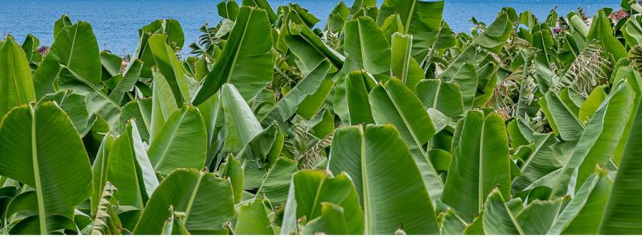 Banana plantation 1