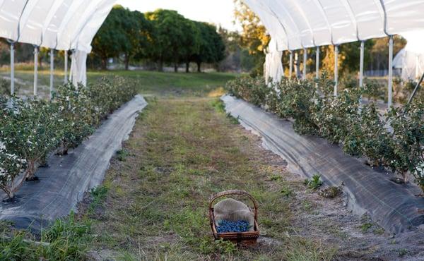 Perfection Blueberries Bundaberg Farm