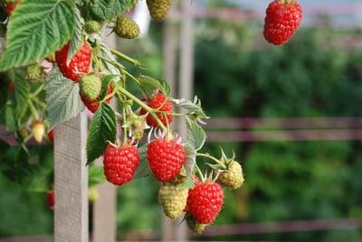 Produce_FR_Kwanza Raspberries9