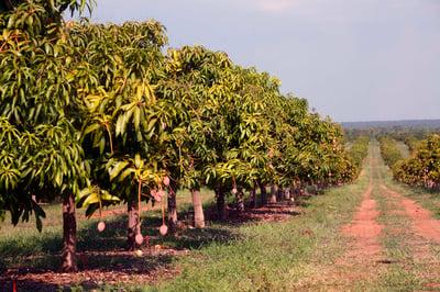Calypso Mango Farm
